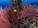 A Golden Damselfish and Other Fishes Swim Amid Red Whip Coral Photographic Print by Tim Laman