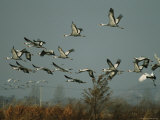 A Flock of Endangered White-Naped Cranes Takes Flight Photographic Print by Michael S. Yamashita