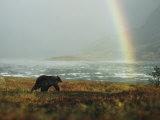 Alaskan Brown Bear and Rainbow near Nonvianuk Lake in Katmai National Park, Alaska Lámina fotográfica por Mobley, George F.