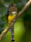 A Female Black-Throated Trogon Perched on a Branch (Trogon Rufus) Photographic Print by Roy Toft