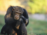 Portrait of Pensive Chimpanzee, Gombe Stream National Park, Tanzania Photographic Print by Michael Nichols