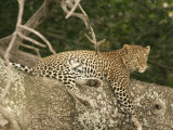 A Leopard Reclining on a Tree (Panthera Pardus) Photographic Print by Roy Toft