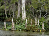 Spanish Moss and Cypress Knees Grace the Banks of the Silver River Photographic Print by Stephen St. John