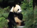 A Giant Panda Smelling a Flower, National Zoo, Washington D.C. Lámina fotográfica por Kennedy, Taylor S.