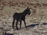 Young Burro Thrives in the Desert, Death Valley National Monument, California Fotografisk tryk af Paul Chesley