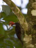Pale-Billed Woodpecker (Campephilus Guatemalensis) Perched on Tree Photographic Print by Roy Toft