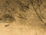 Japanese Red-Crowned Crane on Icy Pond at Sunrise (Grus Japonensis) Photographic Print by Roy Toft
