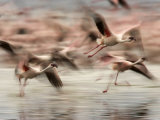 Motion Photo of Lesser Flamingos in Flight (Phoenicopterus Minor) Photographic Print by Roy Toft