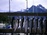 Salmon are Hung to be Weighed and Fileted, Valdez, Alaska, United States Fotoprint van Stacy Gold