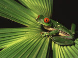 Red-Eyed Tree Frog (Agalychnis Callidryas) Sitting on Palm at Night Photographic Print by Roy Toft
