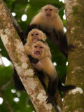 Three Angry White-Throated Capuchin Monkeys (Cebus Capucinus) Photographic Print by Roy Toft