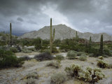 Saguaros Cacti Rise from the Sonoran Desert, Arizona-Mexico Border Photographic Print by James P. Blair