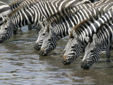 A Group of Common Zebras Drink from a River (Equus Quagga) Photographic Print by Roy Toft