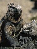 Marine Iguanas, Galapagos Islands Fotografie-Druck von Steve Winter