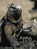 Marine Iguanas, Galapagos Islands Photographic Print by Steve Winter