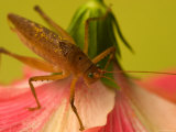 Close-up of Katydid Sitting on Pink Flower Photographic Print by Roy Toft