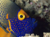 Close View of the Head of a Blue Face Angelfish Photographic Print by Tim Laman