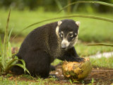 White-Nosed Coati (Nasua Narica) Opening Coconut with Front Paws Photographic Print by Roy Toft