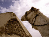 A Camel Surveys a Crumbling Corner of the Angular Bent Pyramid Photographic Print by Stephen St. John