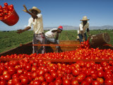 Tomato Harvesting, Galapagos Islands Photographic Print by Steve Winter