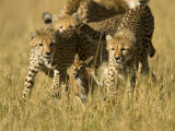 Three Young Cheetahs Chasing a Baby Impala. Survival of the Fittest.Acinonyx Jubatus Photographic Print by Roy Toft