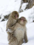 Snow Monkey (Macaca Fuscata) and Baby on Its Back Play in the Snow Photographic Print by Roy Toft