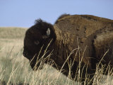 American Bison Shedding His Winter Coat, Fort Niobrara National Wildlife Refuge, Nebraska Photographic Print by James P. Blair
