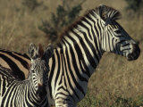 Portrait of a Plains Zebra and Her Foal, Wankie National Park, Zimbabwe Photographic Print by James L. Stanfield