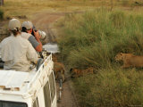 Tourists Photograph Lions from Atop a Land Rover (Pantera Leo) Photographic Print by Roy Toft