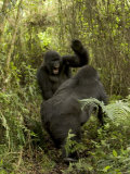 Two Male Mountain Gorillas Fighting (Gorilla Gorilla Beringei) Photographic Print by Roy Toft