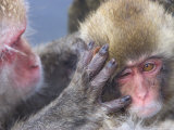Close up of Japanese Macaques (Snow Monkeys) Grooming Each Other Photographic Print by Roy Toft