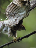 Juvenile Northern Goshawk Works Its Wings, Ready to Fly, Montana Stampa fotografica di Quinton, Michael S.