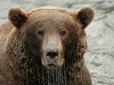 Alaskan Brown Bear (Ursus Arctos) in Water, Water Dripping from Face Impressão fotográfica por Roy Toft