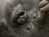 Male Mountain Gorilla (Gorilla Gorilla Beringei), Portrait of Face Photographic Print by Roy Toft