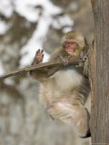 Snow Monkey (Macaca Fuscata) Hangs Precariously from a Tree Branch Photographic Print by Roy Toft