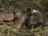 Pair of Juvenile Nine-Banded Armadillos, Melbourne, Florida Photographic Print by Bianca Lavies