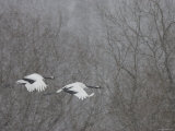 Pair Endangered Red-Crowned Cranes Flying in Snow (Grus Japonensis) Photographic Print by Roy Toft