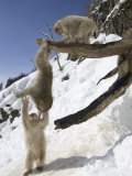 Three Japanese Macaques (Snow Monkeys) Play on a Branch, One Hanging Photographic Print by Roy Toft