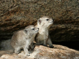 Two Baby Rock Hyraxes Under Rock (Procavia Capensis) Photographic Print by Roy Toft