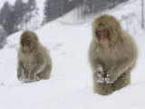 Two Japanese Macaques (Snow Monkeys)Sitting in Snow Photographic Print by Roy Toft