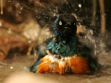 A Superb Starling Shakes Water off While Bathing (Lamprotornis Superbus) Photographic Print by Roy Toft