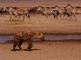 A Spotted Hyena Walks Near a Herd of Zebras (Crocuta Crocuta) Photographic Print by Roy Toft