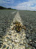 A Horned Lizard Basking in the Sun in the Middle of a Road Photographic Print by Bill Curtsinger