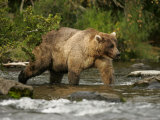 Alaskan Brown Bear (Ursus Arctos) Walking in River and Fishing Photographic Print by Roy Toft