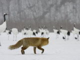 Red Fox Watches Japanese Red-Crowned Crane Flock (Grus Japonensis) Photographic Print by Roy Toft