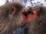 Two Japanese Macaques (Snow Monkeys), Examining Each Others Eyes Photographic Print by Roy Toft