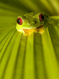 A Red-Eyed Tree Frog Sitting on a Palm Frond (Agalychnis Callidryas) Photographic Print by Roy Toft