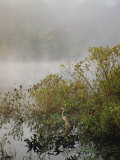 Great Blue Heron Waits for Breakfast near the Appalachian Trail, Lake Hebron, Maine Photographic Print by Sam Abell