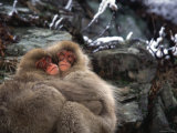 Two Young Japanese Macaques (Snow Monkeys) Hug to Keep Warm on Rock Photographic Print by Roy Toft