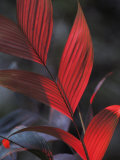 Sunlight Illuminates the Red Leaves of a Plant in Ecuador Photographic Print by Michael Nichols